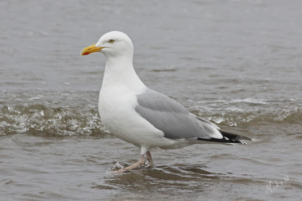 06 Herring Gull Broadhaven sig small