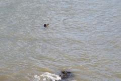 A bull seal keeps an eye on us