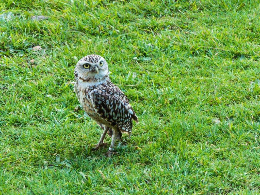 38 Owl at Muncaster Castle7